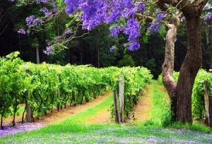 Bago Vineyards - Tourism Canberra