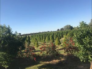 Rutherglen Christmas Trees Farm Stay - Tourism Canberra