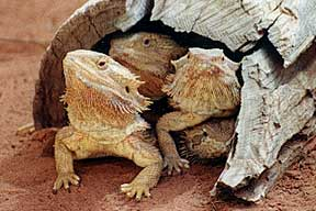Alice Springs Reptile Centre - Tourism Canberra