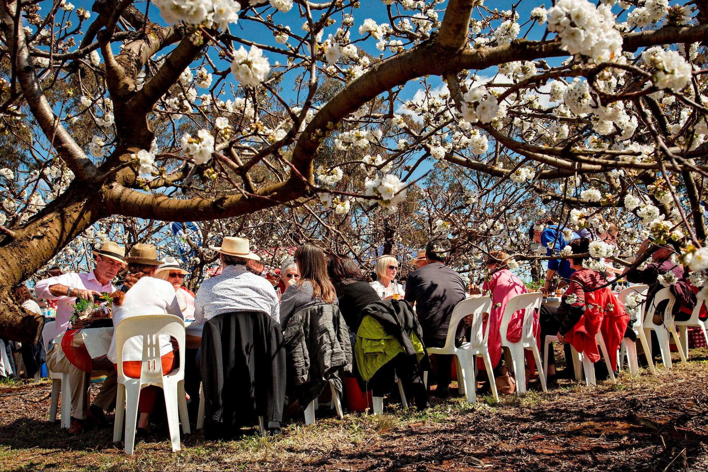 Young Cherry Blossom Long Lazy Lunch - Tourism Canberra