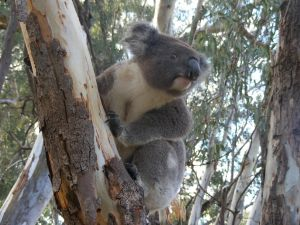 Annual Koala Count - Tourism Canberra