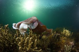 Cuttlefish Diving  Snorkeling EVERYDAY May -August - Tourism Canberra